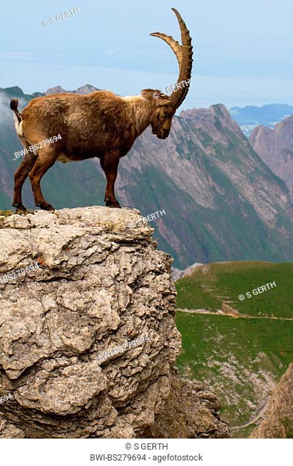 alpine ibex Capra ibex, standing on rock spur, Switzerland, Alpstein, Saentis