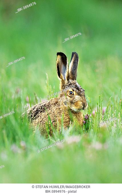 Young European Hare or Brown Hare (Lepus europaeus), feeding, Burgenland, Austria