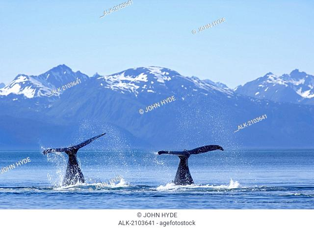 Humpback Whale Mother & Calf Tail Lobbing In Favorite Channel Juneau Alaska W/Chilkat Mountains