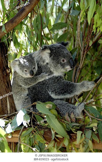 Koala (Phascolarctos cinereus), adult, female, with a young animal, riding on its back, Australia