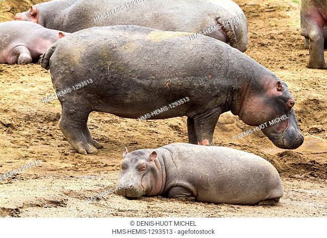Kenya, Masai Mara national reserve, Hippopotamus (Hippopotamus amphibius), female and its young