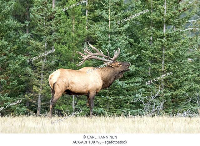 Elk bull (Cervus elaphus) bugling, Jasper National Park, Alberta, Canada
