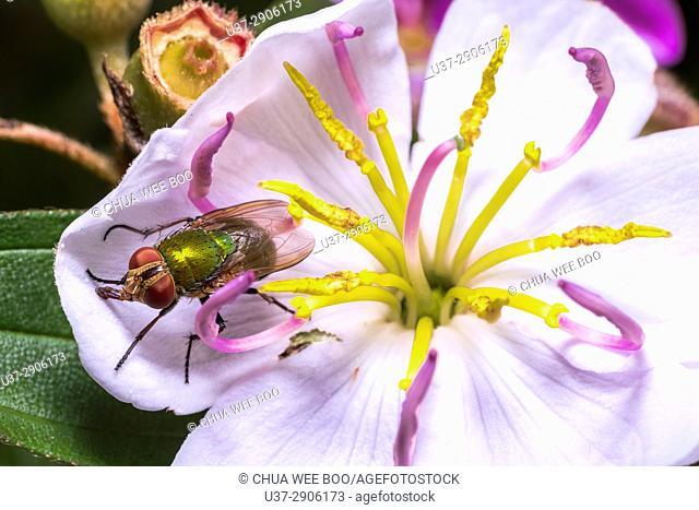 Housefly. Image taken at Kampung Satau, Sarawak, Malaysia