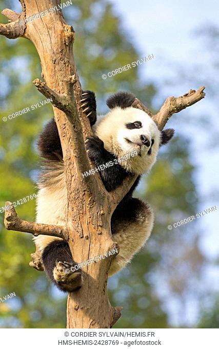 China, Sichuan province, Chengdu, Research Base of Giant Panda Breeding or Chengdu Panda Base, Giant Panda (Ailuropoda melanoleuca), captive, in a tree