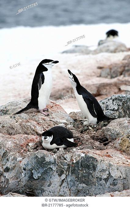 Nesting chinstrap penguins (Pygoscelis antarctica), Hydrurga Rocks, Antarctic Peninsula, Antarctica