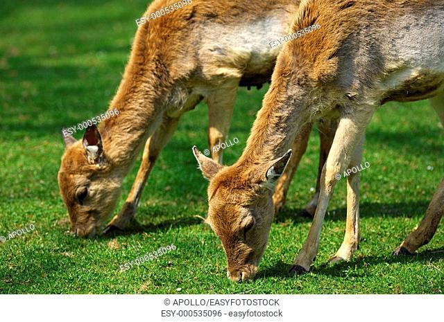 Browsing female Fallow Deers, Dama dama