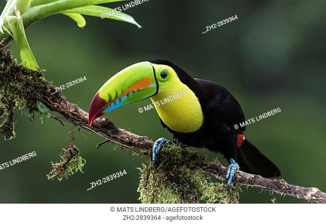 Keel-billed toucan, Ramphastos sulfuratus, sitting in a tree at Laguna del Lagarto, Boca Tapada, San Carlos, Costa Rica