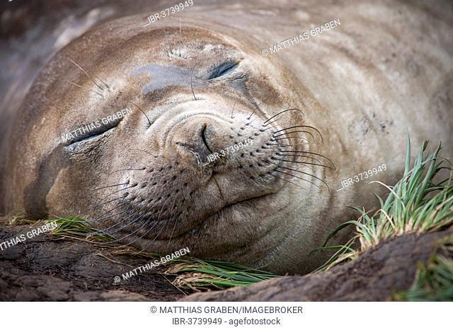 Southern Elephant Seal (Mirounga leonina) female, asleep, Gold Harbour, South Georgia and the South Sandwich Islands, United Kingdom