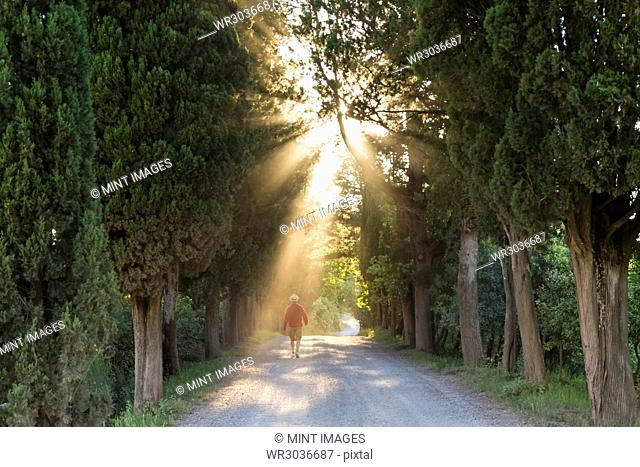 Rear view of man walking along path lined with Cypress trees, sunlight filtering through foliage