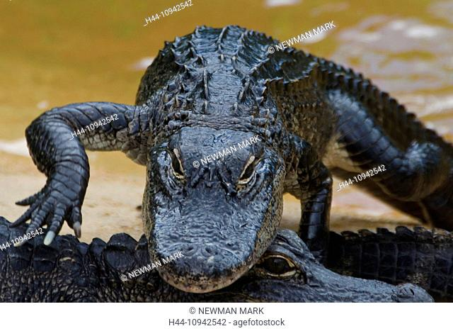 american alligator, alligator mississippiensis, Florida, USA, everglades, alligator, animal, crocodile, young