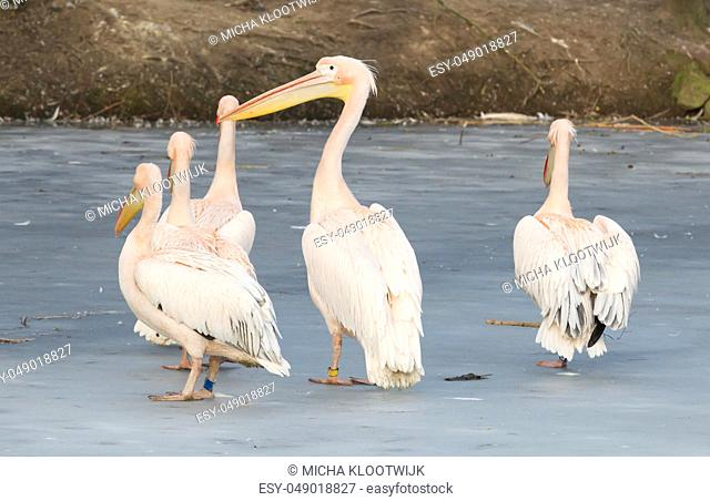 Pelican standing on ice, slightly confused what to make of it
