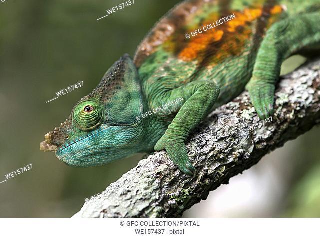 Male Panther Chameleon (Calumma parsonii), (Chameleonidae), endemic to Madagascar, Andasibe National Park, Madagascar