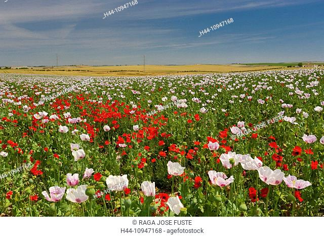 Spain, Europe, Andalucia, Region, Cadiz, Province, Amapolas, Field, amapola, poppy, colourful, country, field, flat, flowers, landscape, skyline, spring
