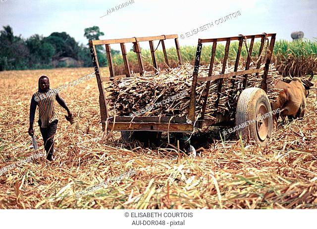 Dominican Republic - Cibao Valley - Sugar Cane Cutting