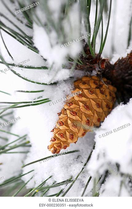 Snowy pine cone
