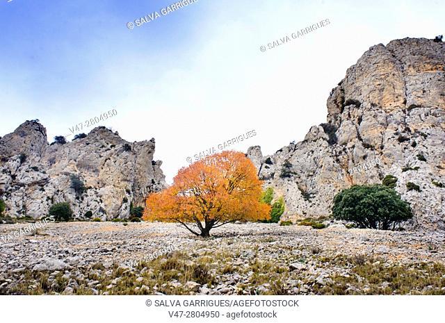 Tree in autumn of the mountain of Quatretondeta, Alicante, Valencia, Spain