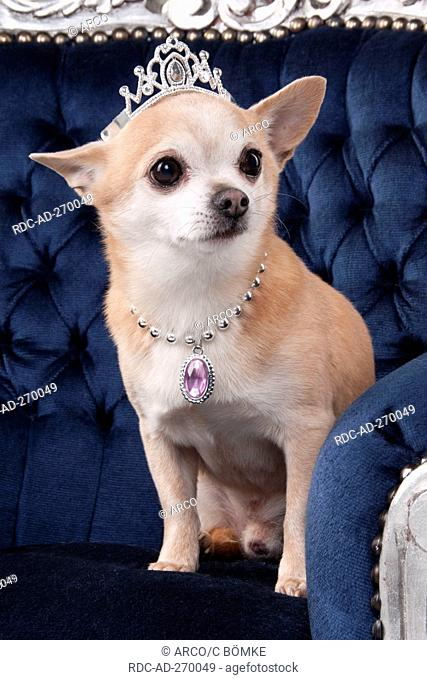 Chihuahua, shorthaired, with crown and jewels