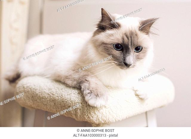Ragdoll cat lying down