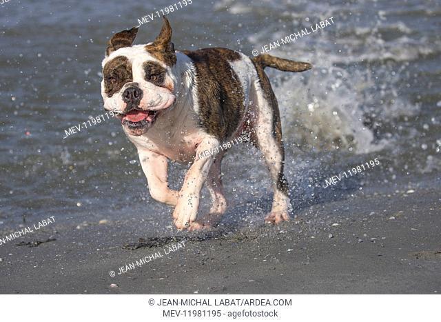 Dog, Continental bulldog running in water, sea
