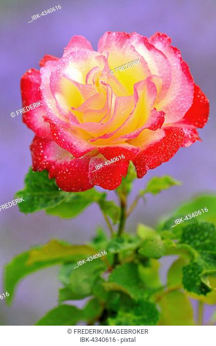 Hybrid tea rose, Double Delight, Swim 1978, ruby ??red and cream white flower with water drops, North Rhine-Westphalia, Germany