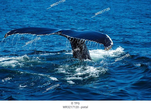 humpback whale;Massachusetts;USA