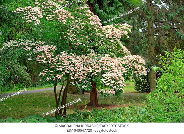 Korean Dogwood tree in botanical garden Dublin, Ireland