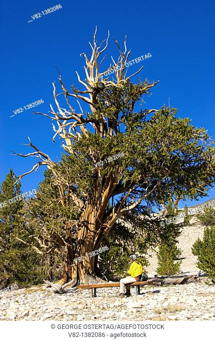 Bristlecone pine at Patriarch Grove, Ancient Bristlecone Pine Forest, Ancient Bristlecone National Scenic Byway, Inyo National Forest, California