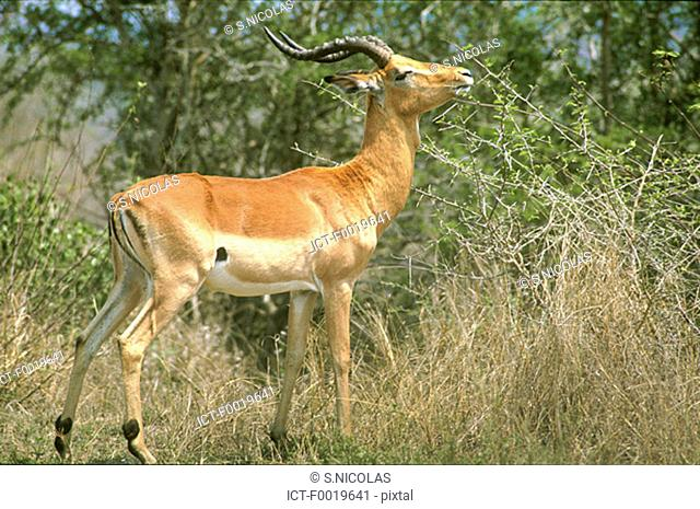 South Africa, springbok