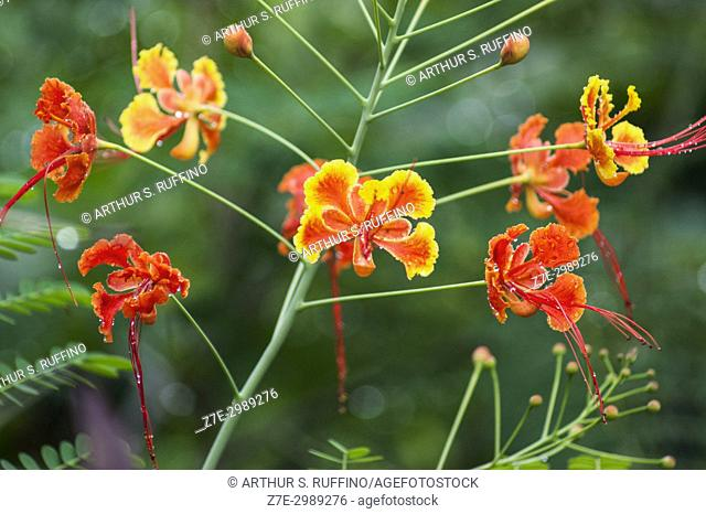 Peacock flower (Caesalpinia pulcherrima), dwarf poinciana. Botanical Garden, Mamoudzou, Grande Terre, Mayotte, Department of Mayotte (France), Comoro Islands