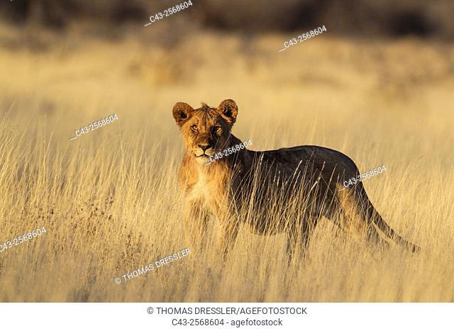Lion (Panthera leo) - Cub in the early morning. Etosha National Park, Namibia