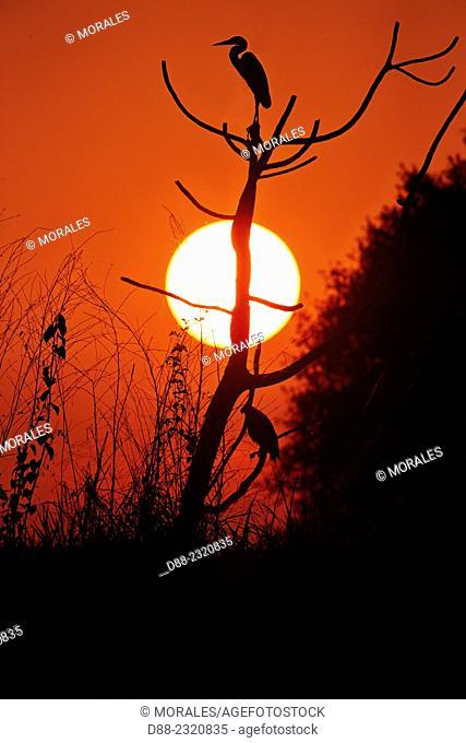 South America,Brazil,Mato Grosso,Pantanal area,Cocoi Heron (Ardea cocoi),in the sunset