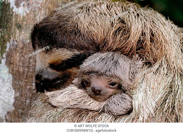 Brown-throated three-toed sloth and young, Barro Colorado, Panama