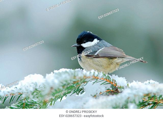 Coal Tit, songbird on snowy spruce tree branch with snow, winter