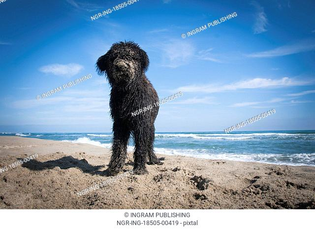 A Bouvier Des Flandres puppy covred in sand after digging on the beach
