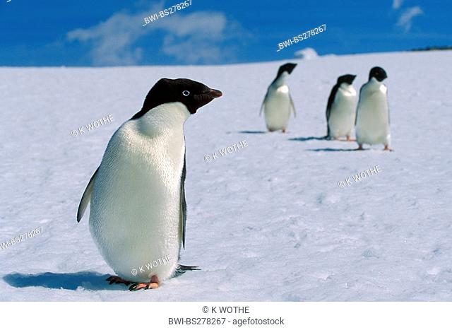 adelie penguin Pygoscelis adeliae, in snow, Antarctica