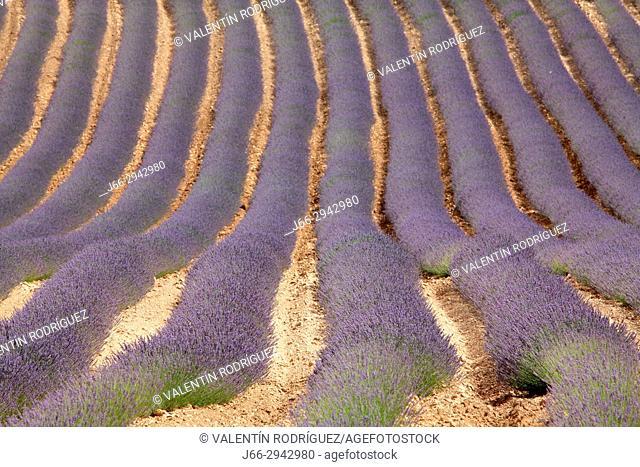 Landscape with fields of lavanders in the Rincón de Ademuz region. Valencia