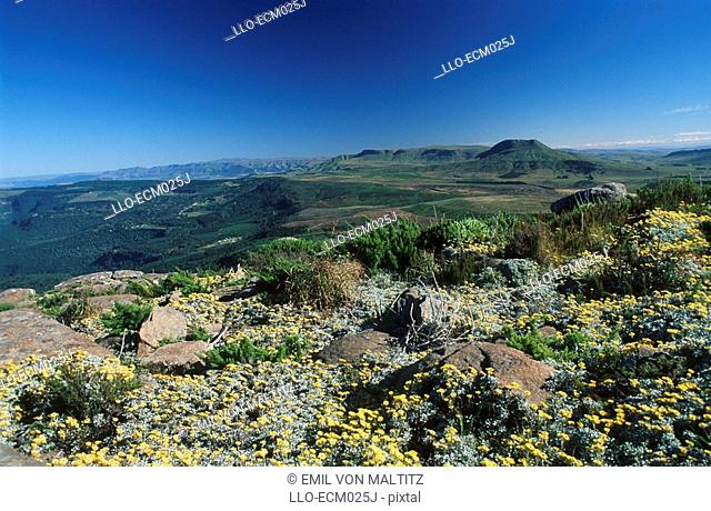 Landscape Scenic with Wild Yellow Flowers in the Foreground  Hogsback, Eastern Cape Province, South Africa