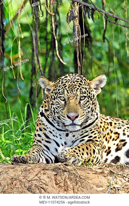 Jaguar relaxing on the edge of a river Pantanal area Mato Grosso Brazil South America