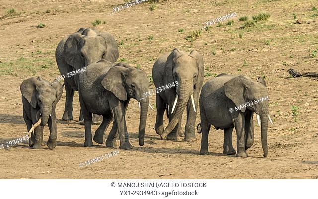 African Elephants walking. Masai Mara National Reserve, Kenya