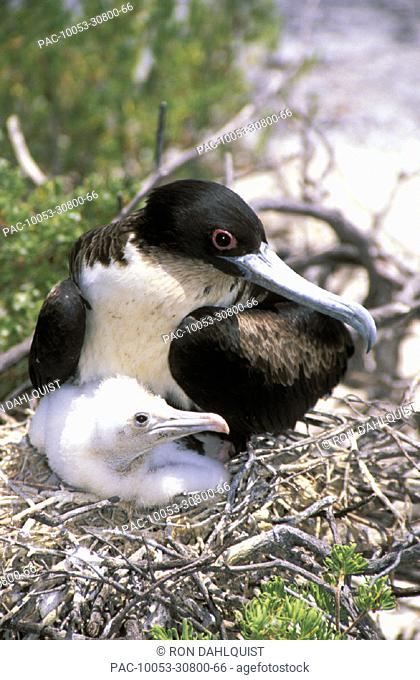Christmas Island, Close-up of juvenile frigate with mother in nest