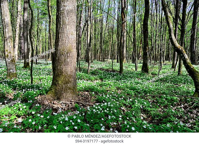 Forest in National park of Bialowieza, Podlasie, Poland