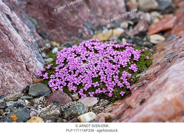 Moss campion / cushion pink (Silene acaulis) in flower in summer on the arctic tundra, Svalbard / Spitsbergen, Norway