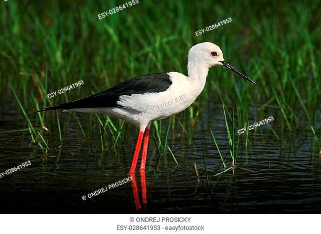 Black-winged Stilt, Himanthopus himantophus