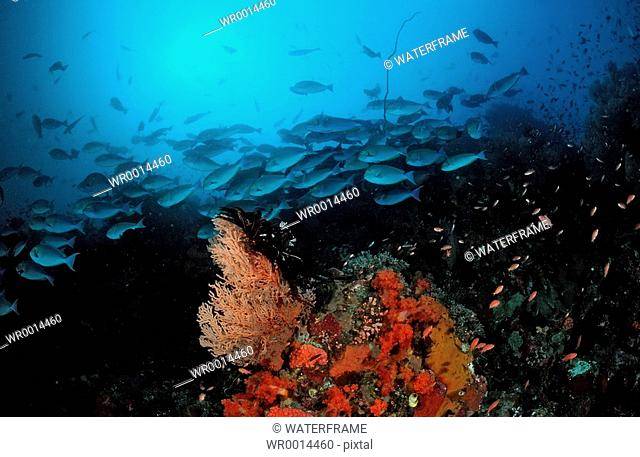 Shoal with Elongate surgeonfishes, Caesio caerulaurea, Raja Ampat, Irian Jaya, West Papua, Indo-Pazific, Indonesia