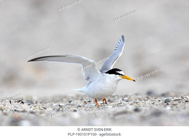 Little tern (Sternula albifrons / Sterna albifrons) spreading wings on the beach in late spring / summer