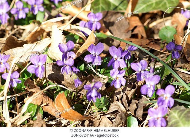 Viola odorata, Duftveilchen, Sweet violet