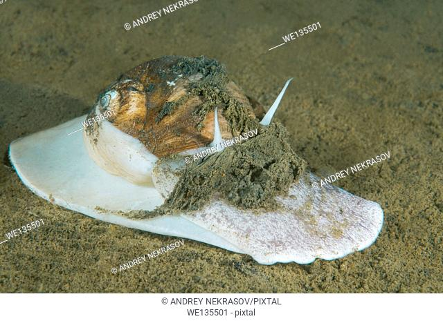 Moon shell (Cryptonatica janthostoma) Sea of Japan, Far East, Primorsky Krai, Russian Federation
