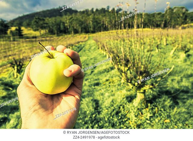 Hand of a Tasmanian food producer standing in a apple orchid holding ripe green apple. Australian apple growers