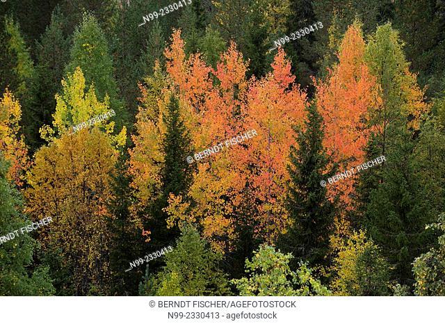 Aspen (Populus tremulus) in boreal pinewood, autumn colours, Finland