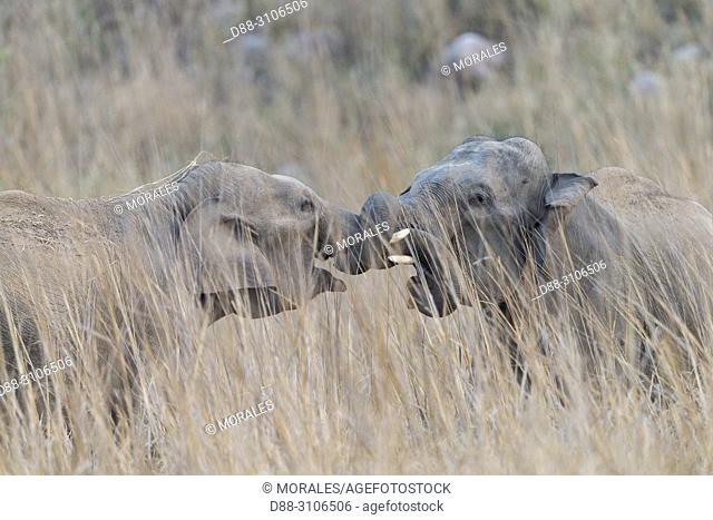 Asia, India, Uttarakhand, Jim Corbett National Park, Asian or Asiatic elephant (Elephas maximus), Youngs fighting in the grassland